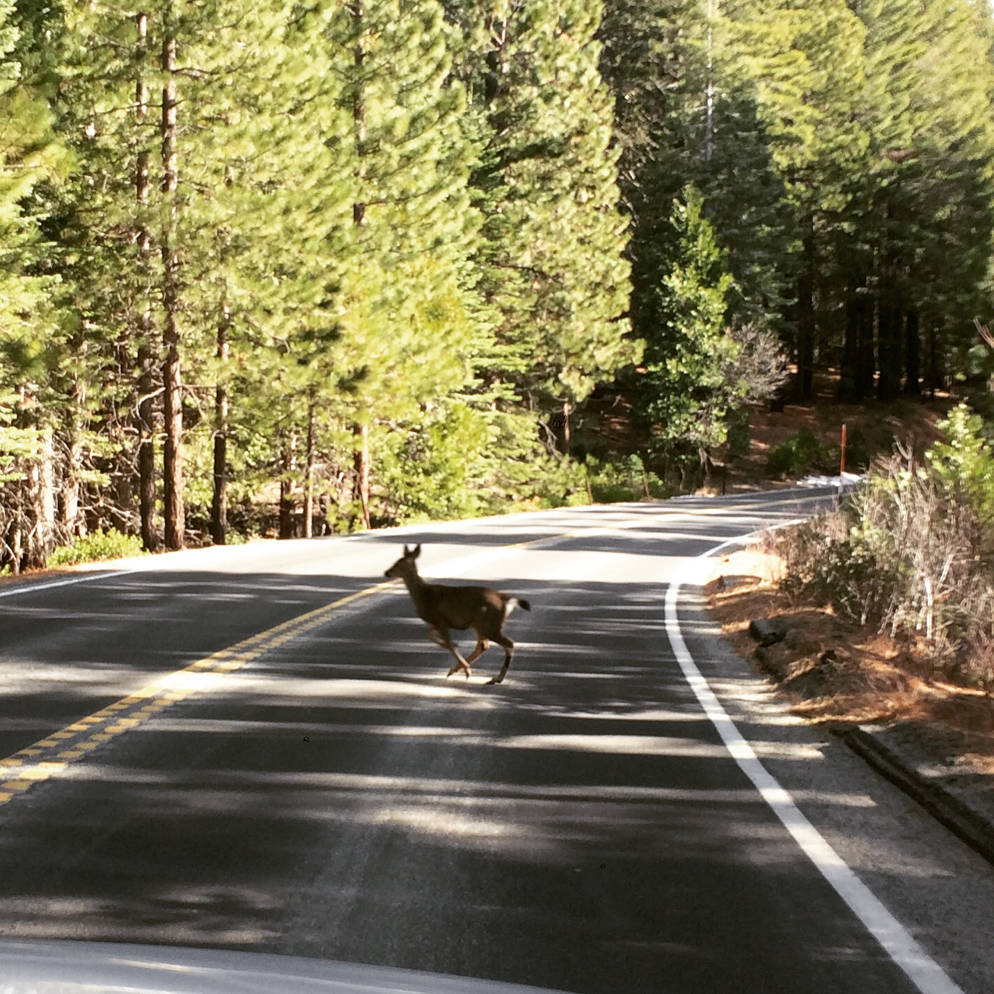 Deer family - driving in to Yosemite National Park